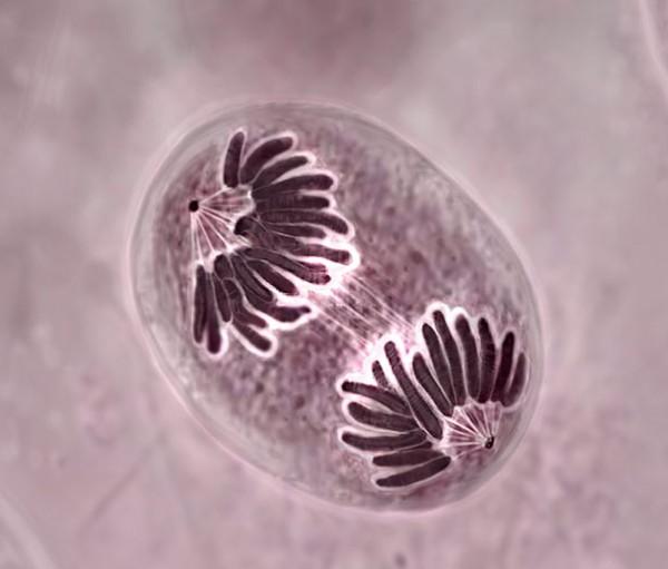 Клеточная регенерация